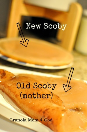 new and old scoby